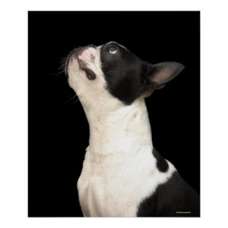 Black and white Boston Terrier looking up Poster