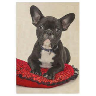 Black and White Bulldog Terrier on Red Pillow Wood Poster