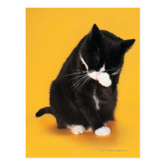Black and White Cat cleaning face with paw Postcard