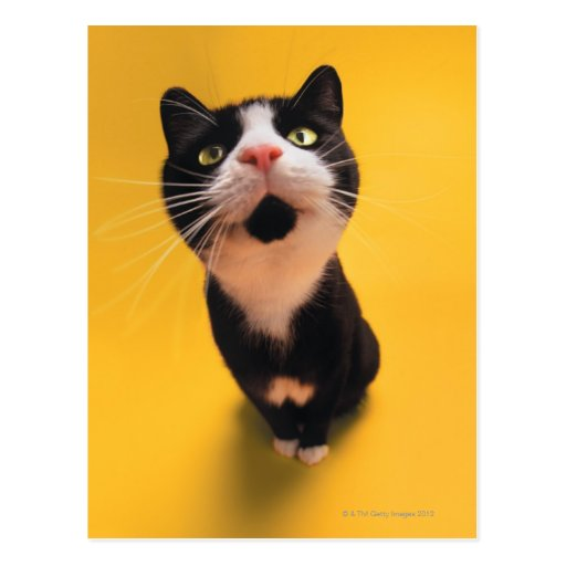 Black and white cat sniffing postcard