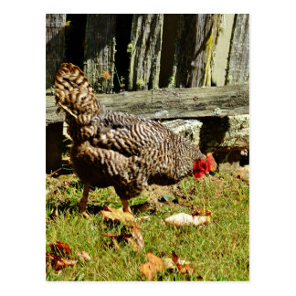 Black and white Chicken by fence Postcard