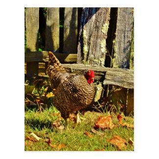 Black and white Chicken in farmyard Postcard