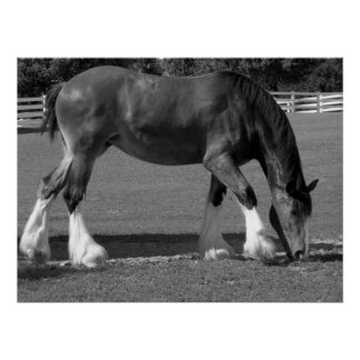 Black and White Clydesdale Poster