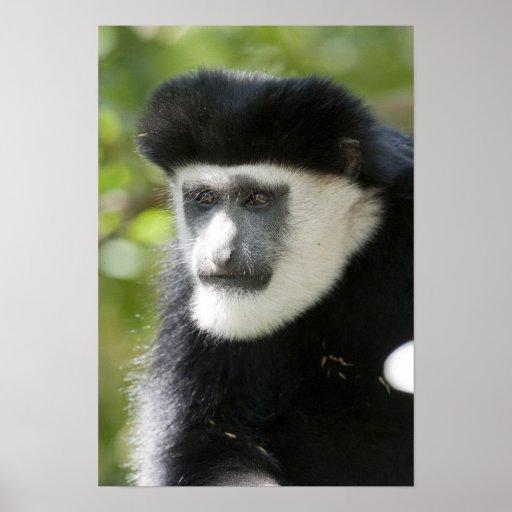 Black and White Colobus Monkey, Colobus Poster