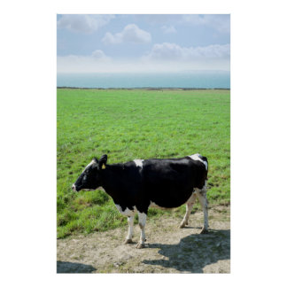 black and white cow on the  kerry coast poster