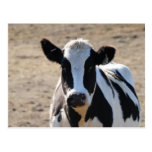 Black and white cow postcards