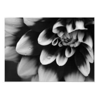 Black and White Dahlia Blossom Poster