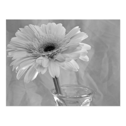 Black and White Daisy Postcard
