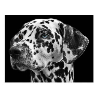 Black and White Dalmatian Dog Postcard