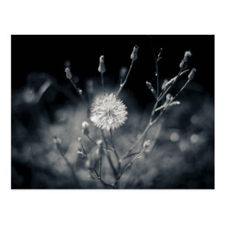 Black and White Dandelion Photography Postcard
