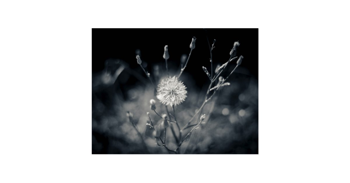 Black And White Dandelion Photography Postcard  Zazzle