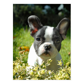 Black and White French Bull Dog Puppy Postcard