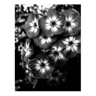Black and White Garden Phlox Flower cluster Post Card