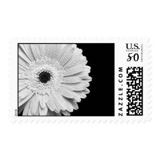 Black and White Gerbera Daisy Postage