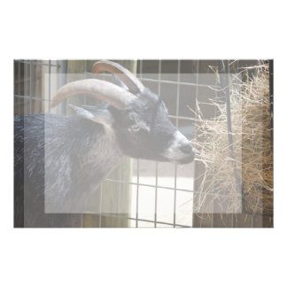 black and white goat with horns eating hay animal stationery