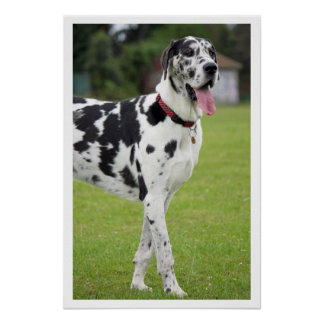 Black and White Great Dane Poster