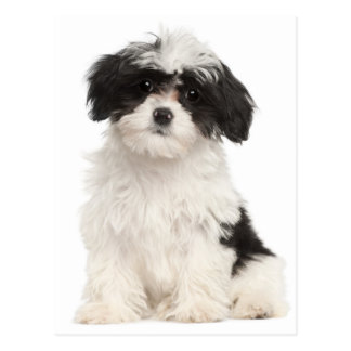 Black And White Havanese Puppy Dog Postcard