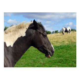 Black and White Horses / Ponies Postcard