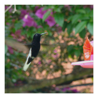 Black and White hummingbird flying at a feeder Poster