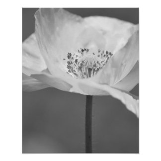 Black and White Iceland Poppy Flower Photography Poster