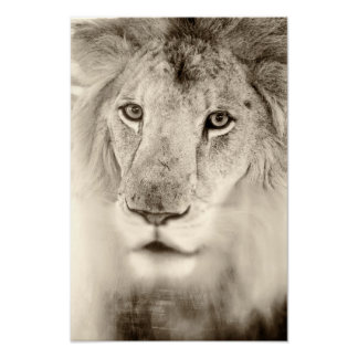 Black and White Lion Portrait Poster