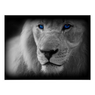 Black And White Lion With Blue Eyes Poster