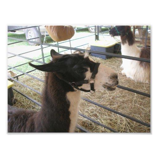 Black and White Llama Profile Art Photo