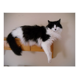 Black and White Longhaired Cat Poster