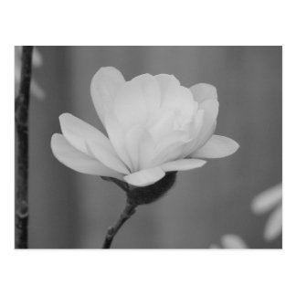 Black and White Magnolia Centennial Bloom Postcard