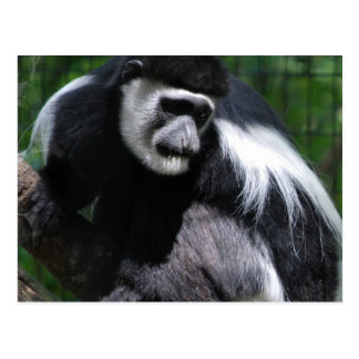 Black and White Monkey Postcard