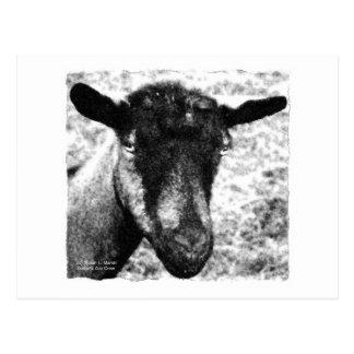 Black and white Oberhasli doe goat head view Postcard
