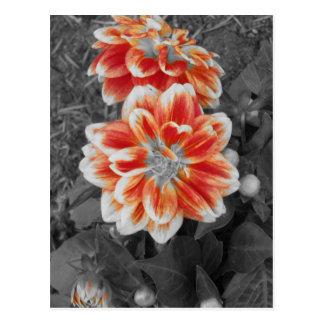 Black and White Orange Dahlia Postcard