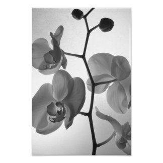 Black and White Orchids on the Stem Poster