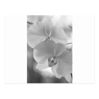 Black and White Orchids Postcard