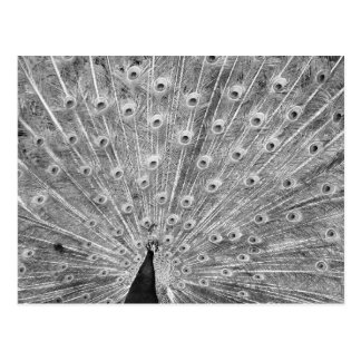 Black and White Peacock Display Post Cards