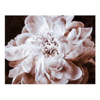 Black And White Peony Flower Sepia Peonies Floral Postcard
