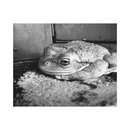 Black and white photo of a frog on a concrete sill canvas print