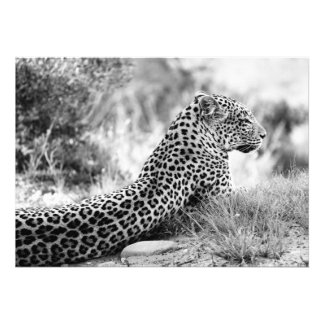 Black and White photo of Leopard looking Custom Announcement