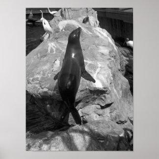 Black And White Photo Sea Lion Poster