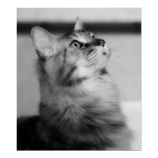 R Diamond R Maine Coons Maine Coon Kitten Poster
