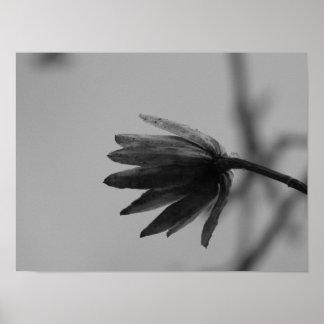 Black and White Poplar Bloom Poster