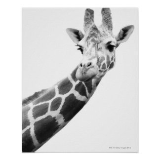 Black and white portrait of a giraffe posters