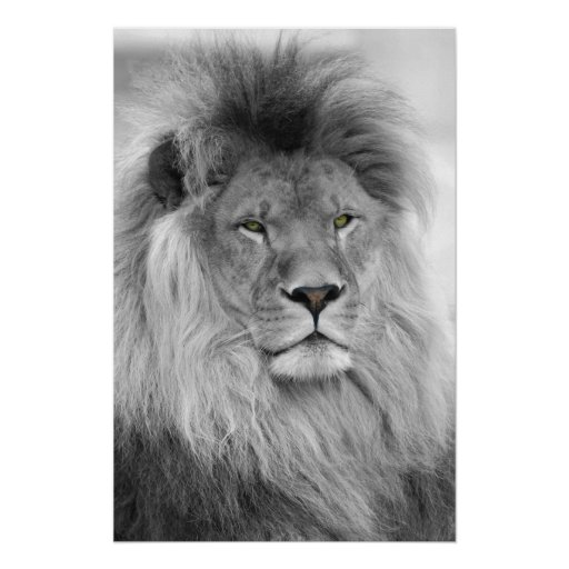 Black and white portrait of lion posters
