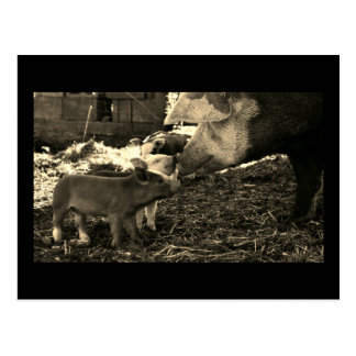 Black and White Postcard. Pig and Piglets Postcard