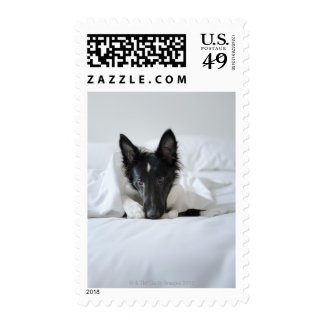 Black and white puppy in  bed with bone postage