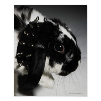 Black and white rabbit with studded collar poster