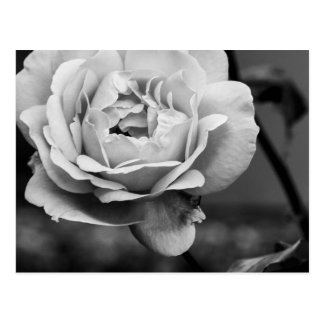Black and White Romantic Rose Postcard