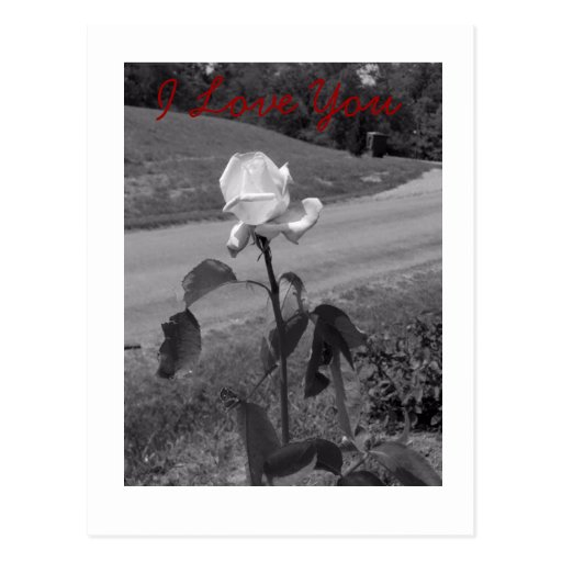 Black and White rose photo Post Card