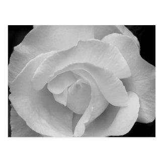 Black and White Rose Postcard