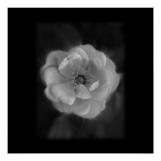 Black and White Rose. Poster